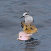 first summer Bridled Tern on surfboard