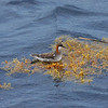 adult female Red-necked Phalarope