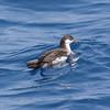 tuna duck aka Audubon's Shearwater