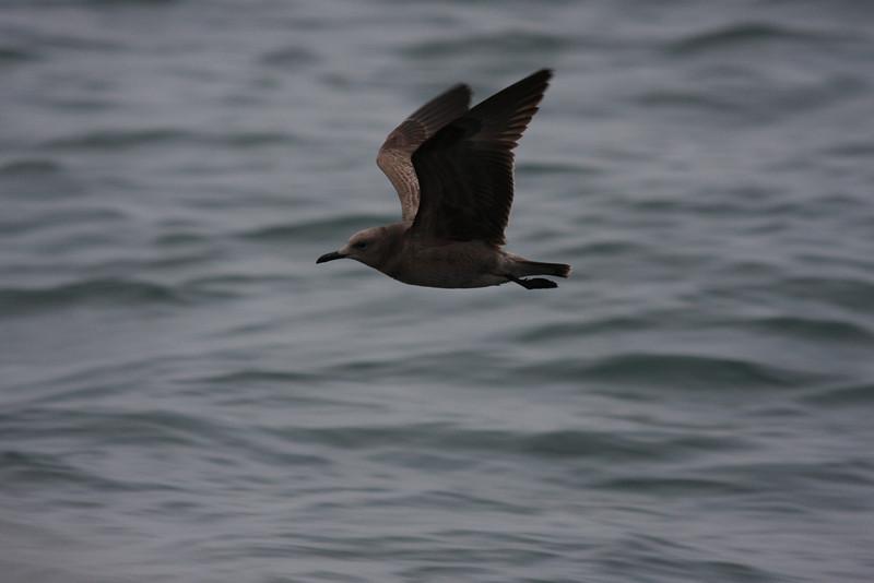 juvenile Gray Gull