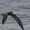 Waved Albatross! who needs the Galapagos? well, clearly this bird does.