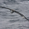Chatham Albatross, here in formation with a Black-browed