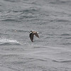 the star of the Humboldt - Hornby's Storm-petrel