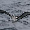 subadult Buller's Albatross