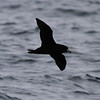 Westland Petrel - bull-necked appearance evident here