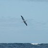at the furthest point offshore, 20 nm in 600 fathoms of water, juvenile Northern Royal Albatross