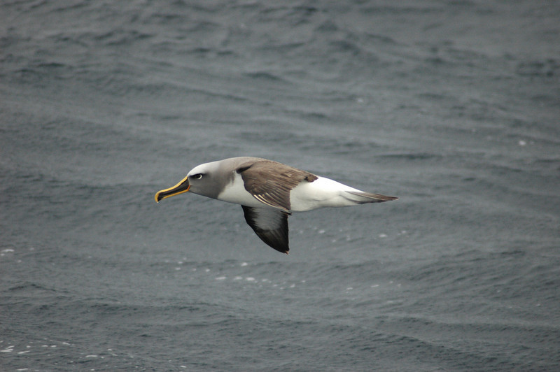 Buller's Albatrosses had arrived in numbers only within the past few weeks, all adults