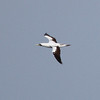 Masked Booby (2-3 years old w 4 juv pp retained)