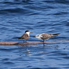 adult and juv Bridled Tern