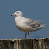 3rd summer Glaucous Gull at the Westport marina