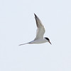 Forster's Tern, 25 April 2013, Bowmans Beach Sanibel Island, Florida