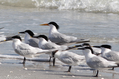 Sanibel Terns