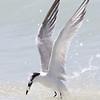 Sandwich Tern, 26 April 2013, Bowmans Beach Sanibel Island, Florida