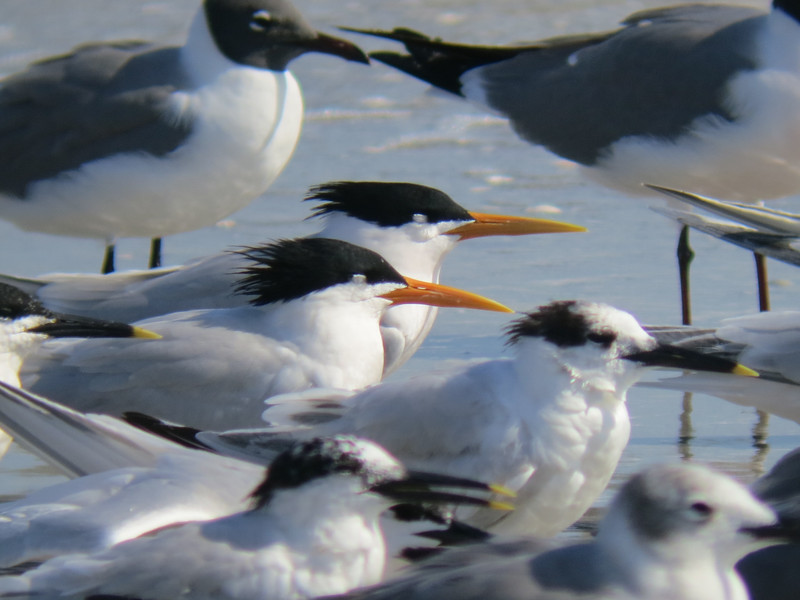Elegant Terns, 25 April 2013, Bowmans Beach Sanibel Island, Florida (photographed with Canon Powershot S100 through Zeiss 7 X binoculars)