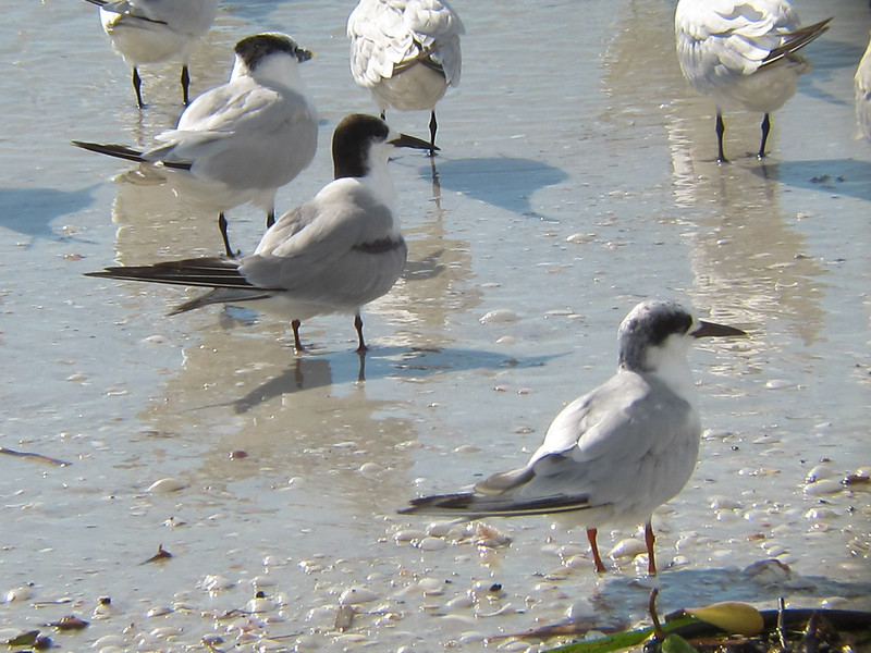 Forster's Tern and Common Tern with Sandwich Terns, Sanibel Island Florida, 11 October 2011
