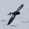 Pincoya Storm-petrel, 28 October 2011