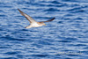 Cory's Shearwater (Calonectris diomedea borealis). Lanzarote (Canary Islands, Spain), September 2012.<br /> Esp: Pardela cenicienta<br /> Cat: Baldriga cendrosa