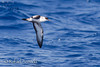 Great Shearwater (Puffinus gravis). 40 miles off Lanzarote (Canary Islands, Spain), september 2011.<br /> Esp: Pardela capirotada
