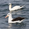Black-browed Albatross and Northern Gannet, off Hatteras Inlet 18 February 2012