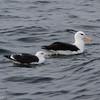 Black-browed Albatross and Great Black-backed Gull, off Hatteras Inlet 18 February 2012