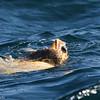 Loggerhead Turtle, off Hatteras 18 February 2012