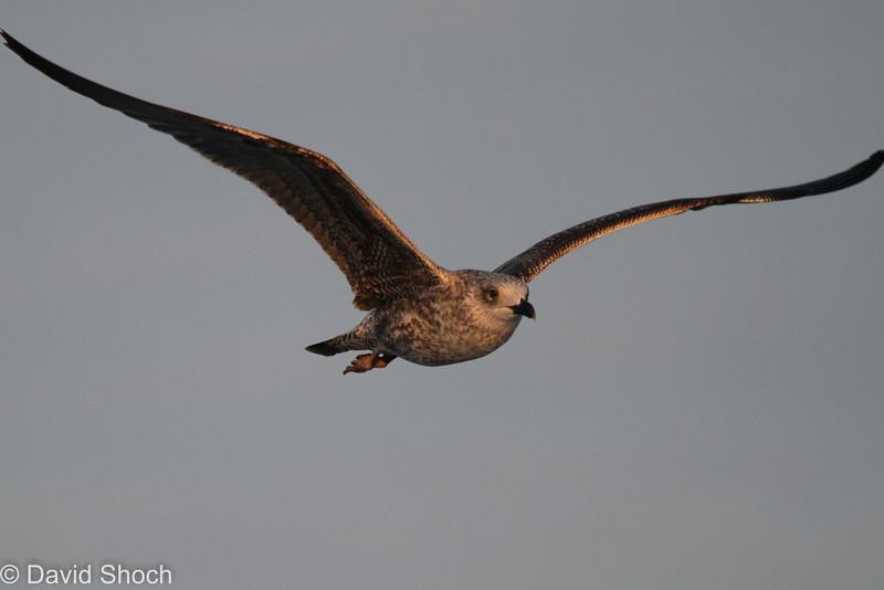 First winter Lesser Black-backed Gull, off Hatteras 18 February 2012