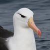 Black-browed Albatross, off Hatteras Inlet 18 February 2012