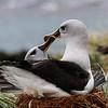 Gray-headed Albatrosses