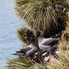Light-mantled Sooty Albatrosses