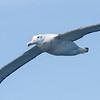 subadult Wandering Albatross