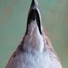Common Diving-petrel