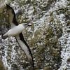 Gray-headed Albatross