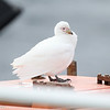 Snowy Sheathbill that had flown in off the ocean to rest on the Ushuaia
