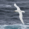 "Southern Giant Petrel ""White Nelly"""