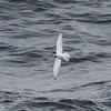 Blue Petrel, fastest, most maneuverable bird in the south?