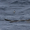 Gray-backed Storm-petrel over floating kelp