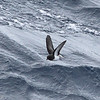 Gray-backed Storm-petrel
