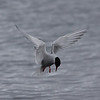 Antarctic Tern at Godthul Bay