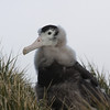 "Wandering Albatross chick with juvenal plumage beginning to show under its receding down ""mane"""