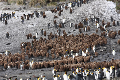 """brown """"Oakum boys"""" King Penguin chicks, huddled together in creche at Right Whale Bay"""