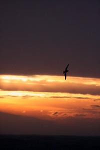 Pintado Petrel at sunset