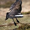 flamenco dancing Subantarctic (Falkland) Skua