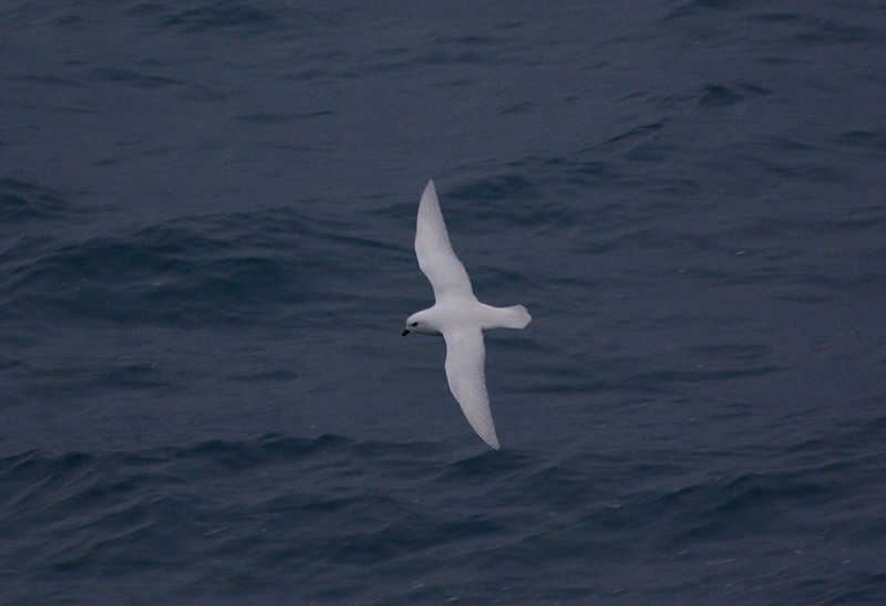 heralded by the icebergs greeting us at Cape Disappointment, finally a Snow Petrel! this and two others in the space of a few minutes rounding the south-eastern end of South Georgia were our only Snow Petrels of the trip
