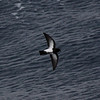 Black-bellied Storm-petrel