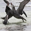 tussling Northern Giant Petrels