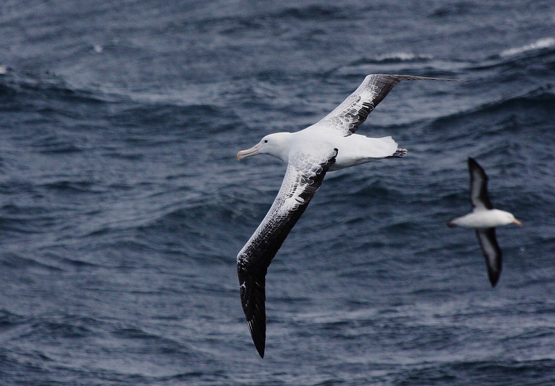 First day at sea out of the Falklands ... Southern Royal Albatross