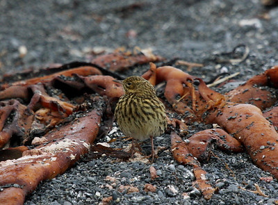 endemic South Georgia Pipit - the only native songbird on South Georgia