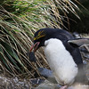 newly-arrived Macaroni Penguin beginning nest building at Rookery Bay colony