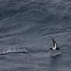 Black-bellied Storm-petrel demonstrating distinctive foot-skimming action of Fregetta