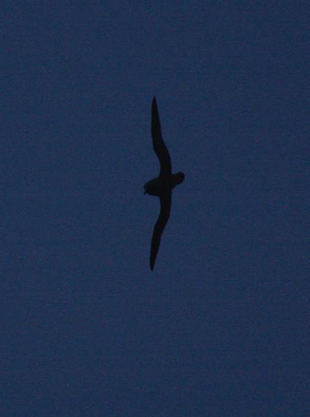 distinctive flight profile of a Kerguelen Petrel